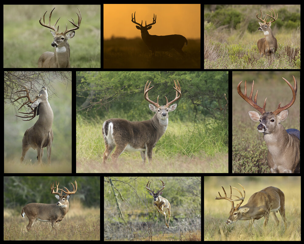 2020 South Texas Whitetails — Hector Astorga Photography in Illinois Rut 2020