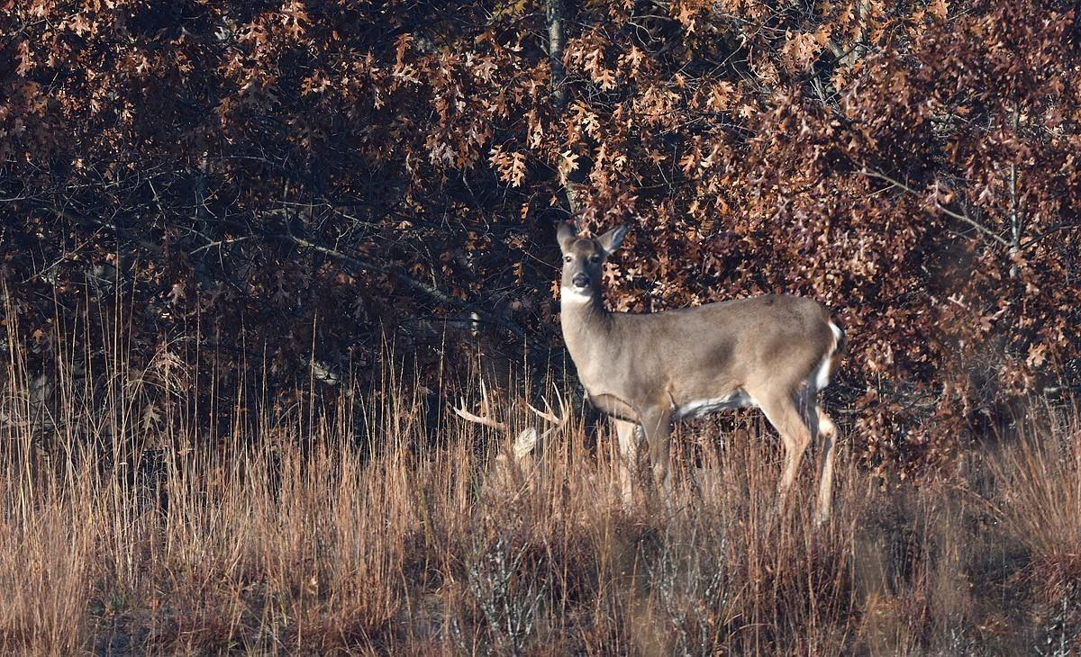 Galena, Galena, Illinois - A November Sighting Of A Doe With throughout Illinois Deer Rut