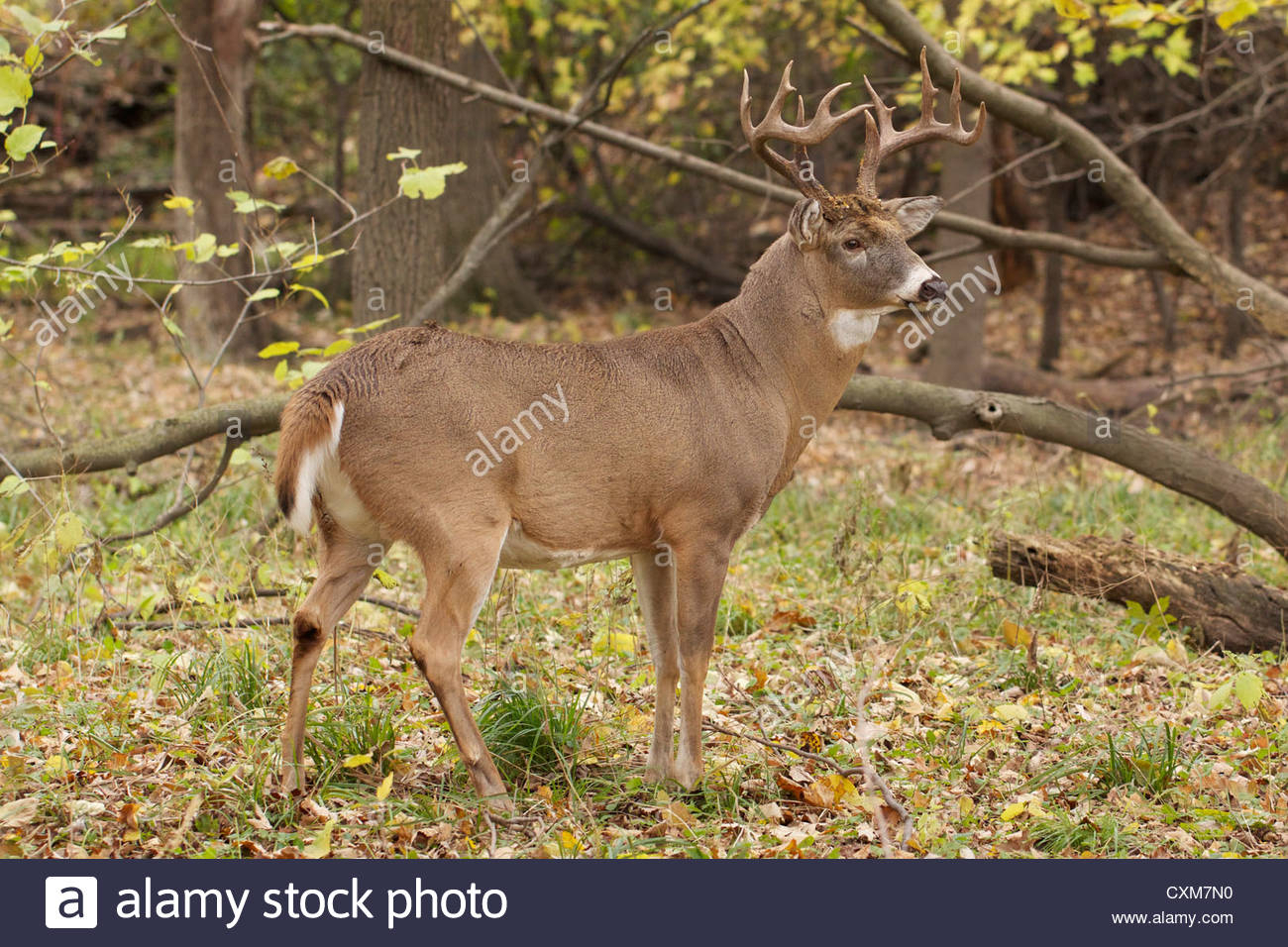 Ten Point White-Tailed Deer Buck In Rut. Thatcher Woods regarding Illinois Deer Rut