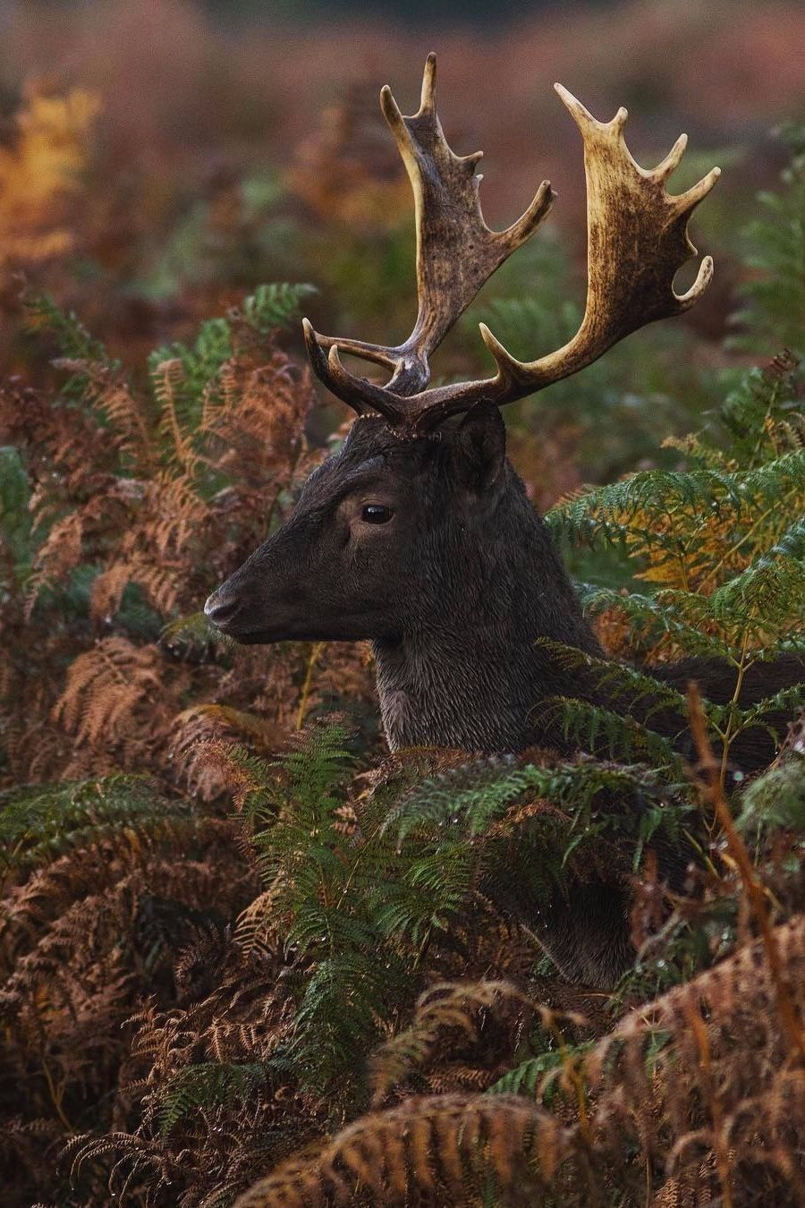 Desvre In 2020 | Fallow Deer, Deer Rut, Animals pertaining to 2020 Deer Rut