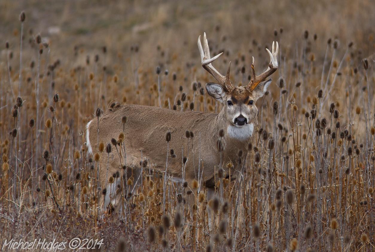 Gallant Buck | - Michael Hodges - throughout Montana White Tail Deer Rut 2020