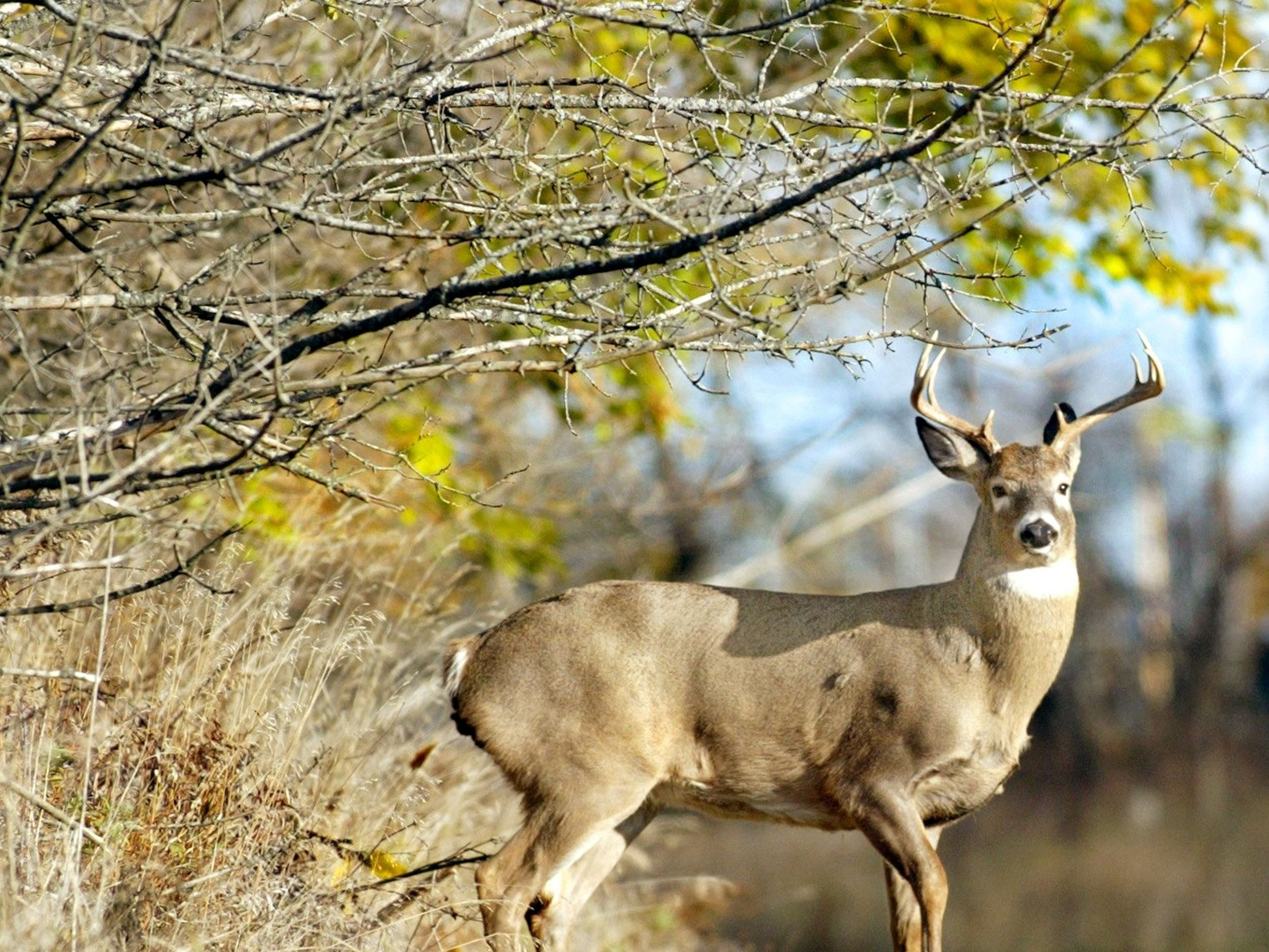 The Rut Leads Whitetails To Abandon Wary Ways | The with Indiana 2020 Whitetail Deer Rut Timing Predictions