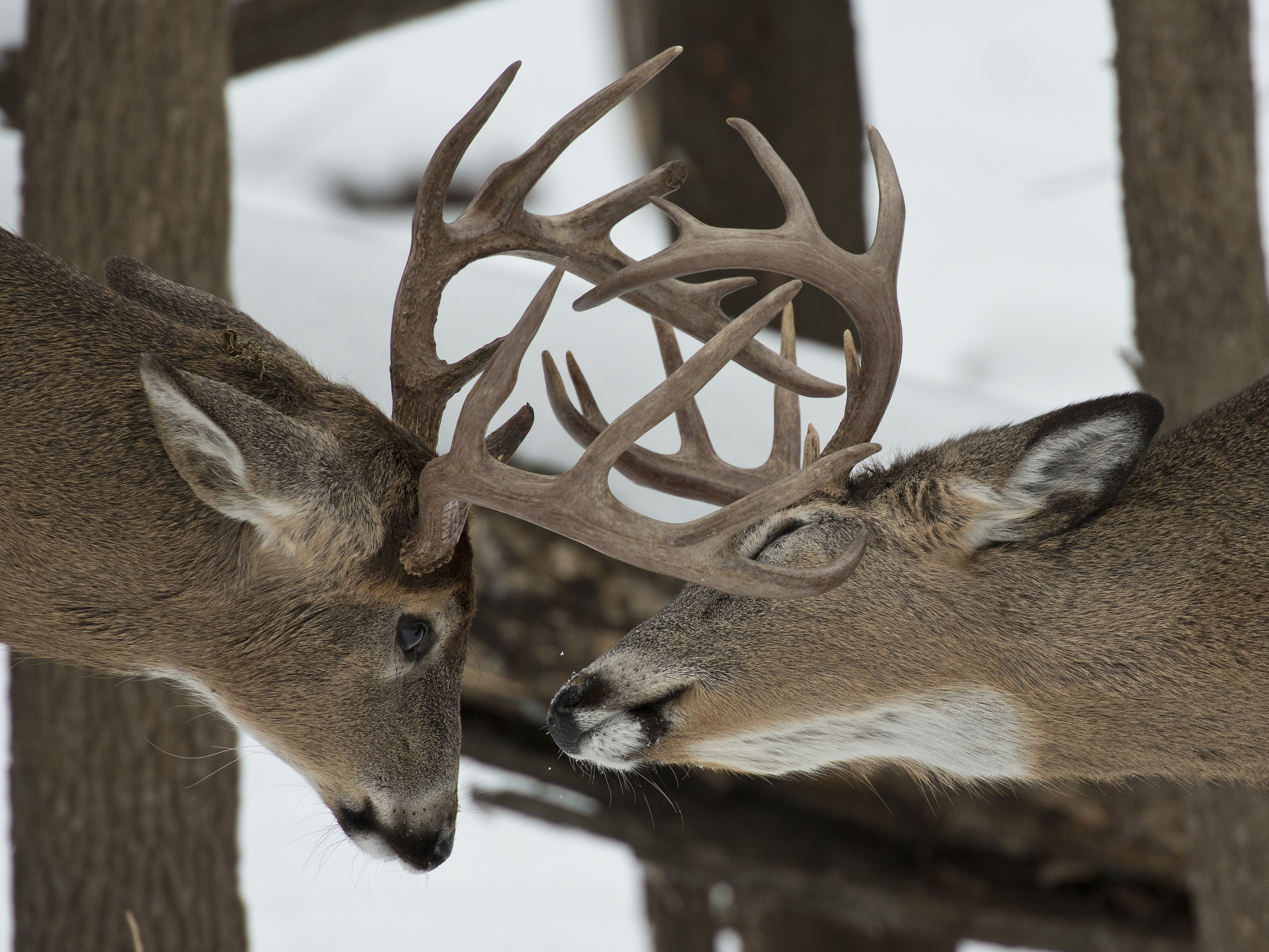 White-Tailed Deer Rut: Facts And Fictions throughout 2020 Wny Whitetail Deer Rut