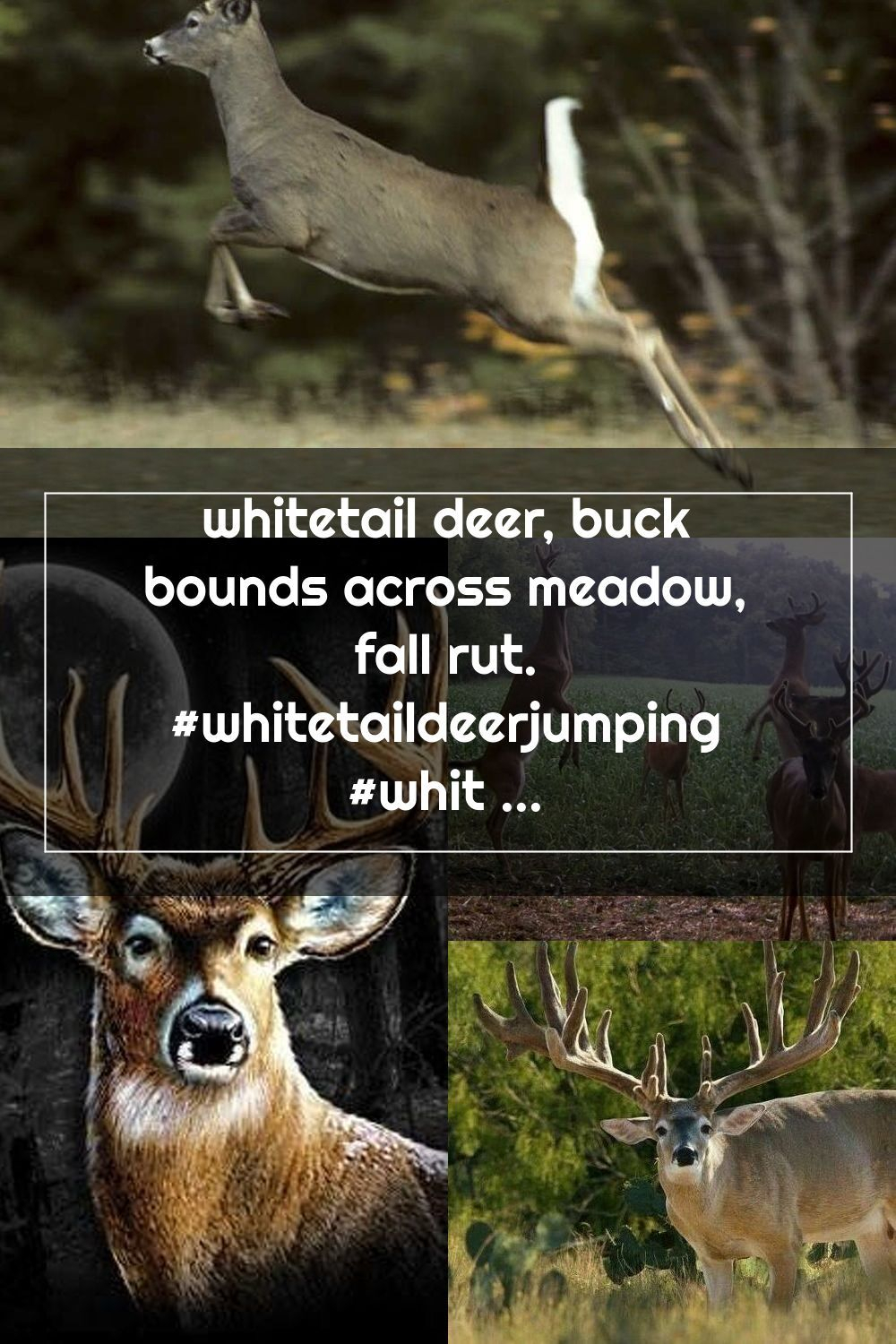 Whitetail Deer, Buck Bounds Across Meadow, Fall Rut pertaining to 2020 Whitetail Rut