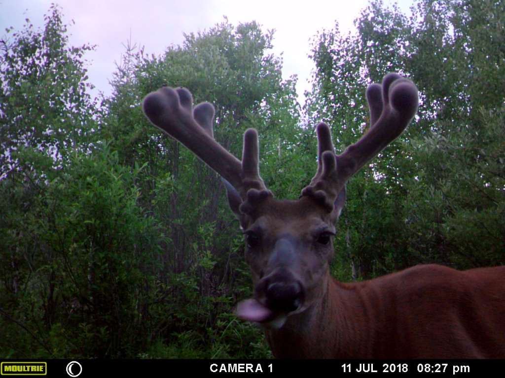 Whitetail Deer Hunting In Rut, 2020 with 2020 Wny Whitetail Deer Rut