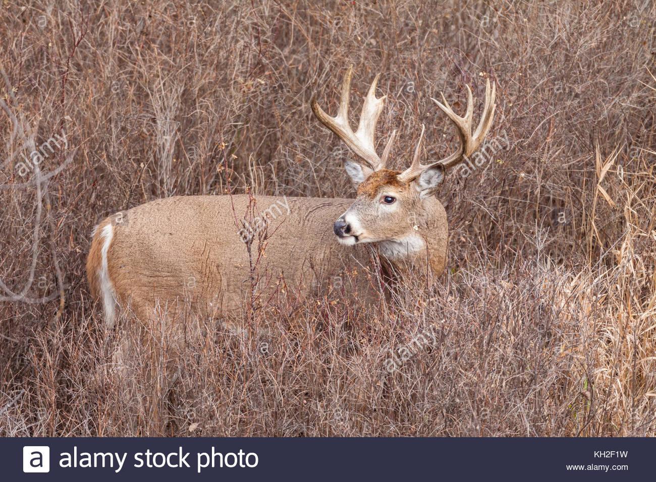 Whitetail Deer (Odocoileus Virginianus) Buck During The with regard to Montana White Tail Deer Rut 2020