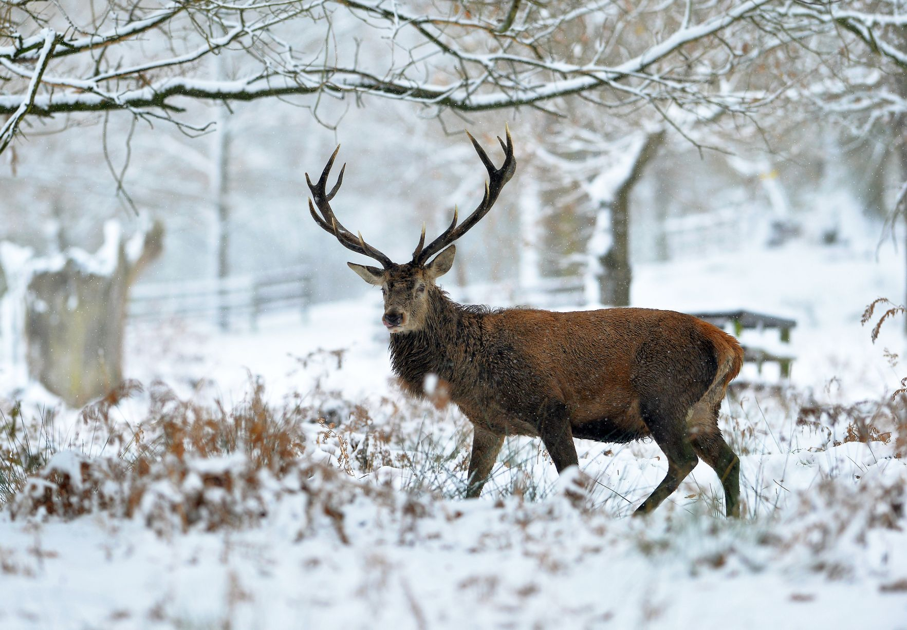 12 Absolutely Stunning Images From The Bradgate Park 2021 inside Bradgate Deer Rut 2021