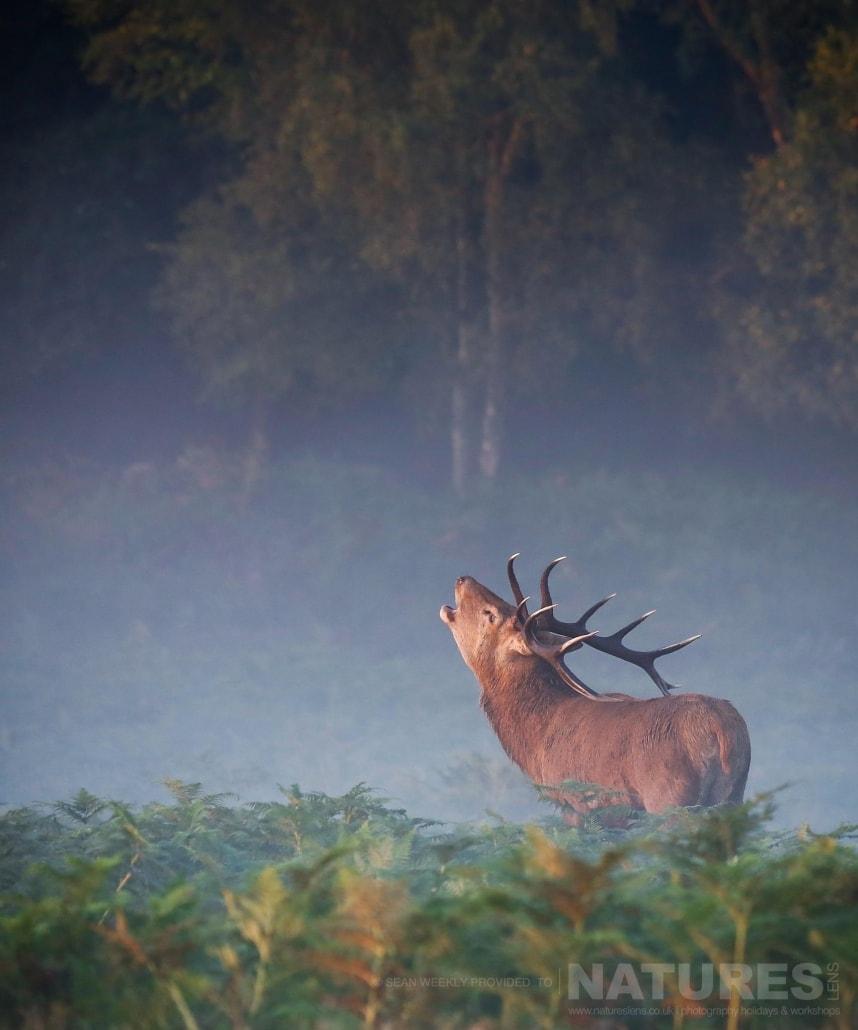 2016 - Red Deer In Rut Photography Workshop | Natureslens with Deer Rut Westleton 2021