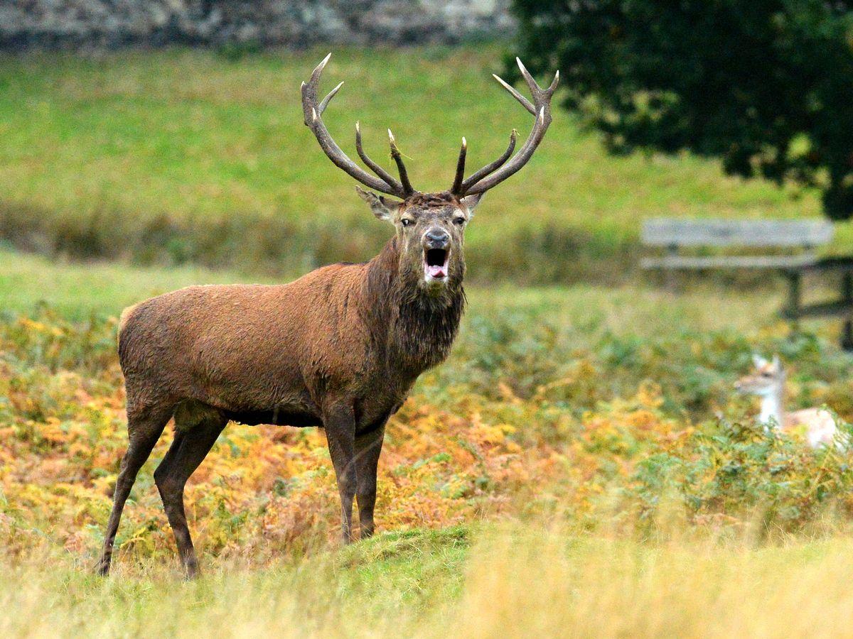 Bradgate Park Issues Warning Over 'Aggressive Male Deer in Bradgate Deer Rut 2021