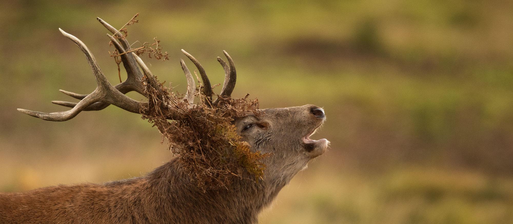 Deer Rut Photography Workshop - Tesni Ward Photography inside Bradgate Deer Rut 2021