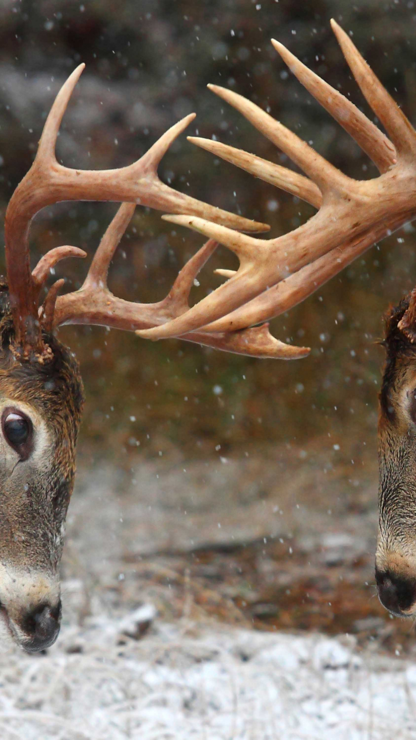 Free Download Clash Of The Titans Deer Rut Ontario Canada with White Tail Rut Ontario