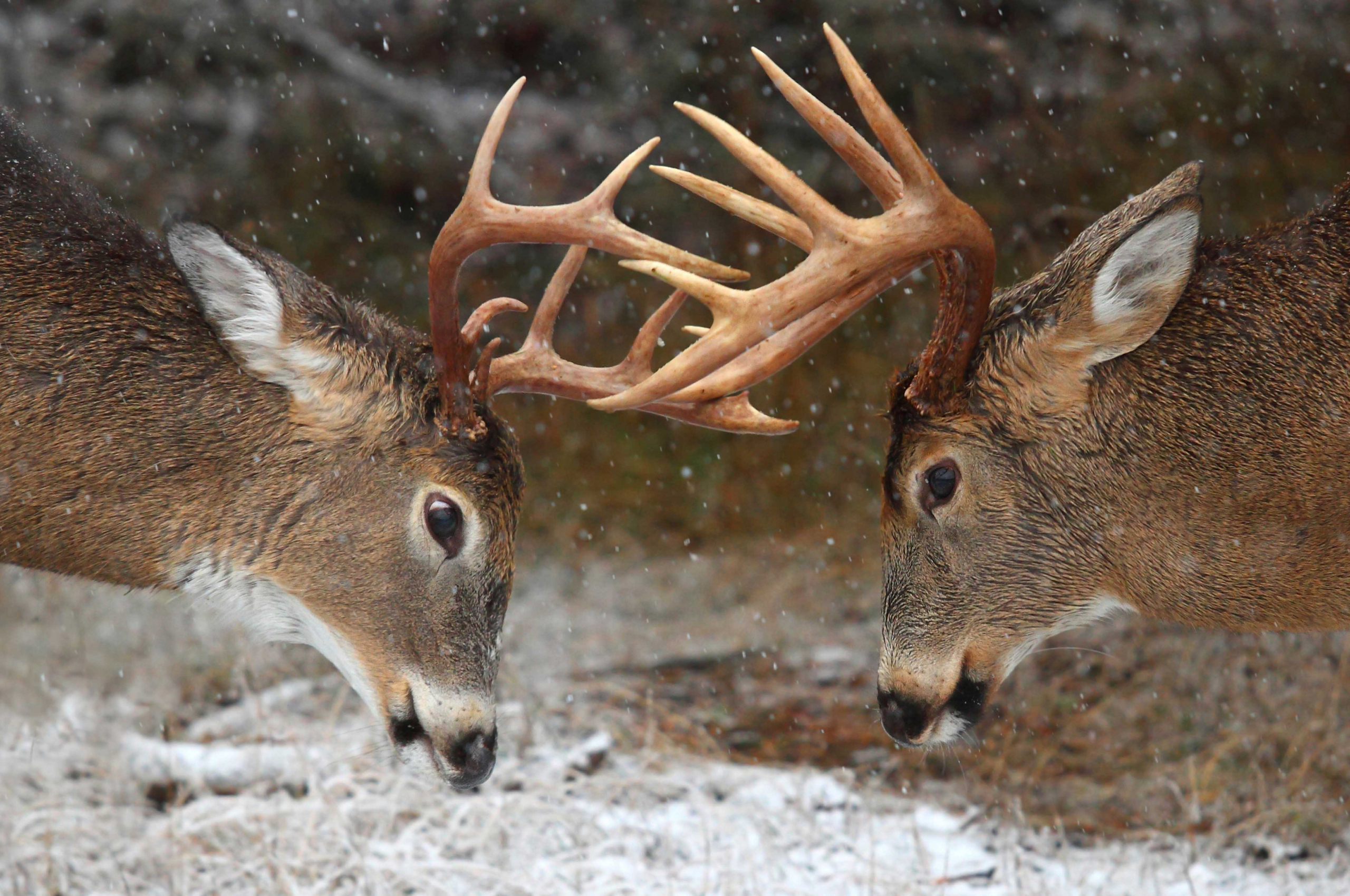 Free Download Clash Of The Titans Deer Rut Ontario Canada within White Tail Rut Ontario