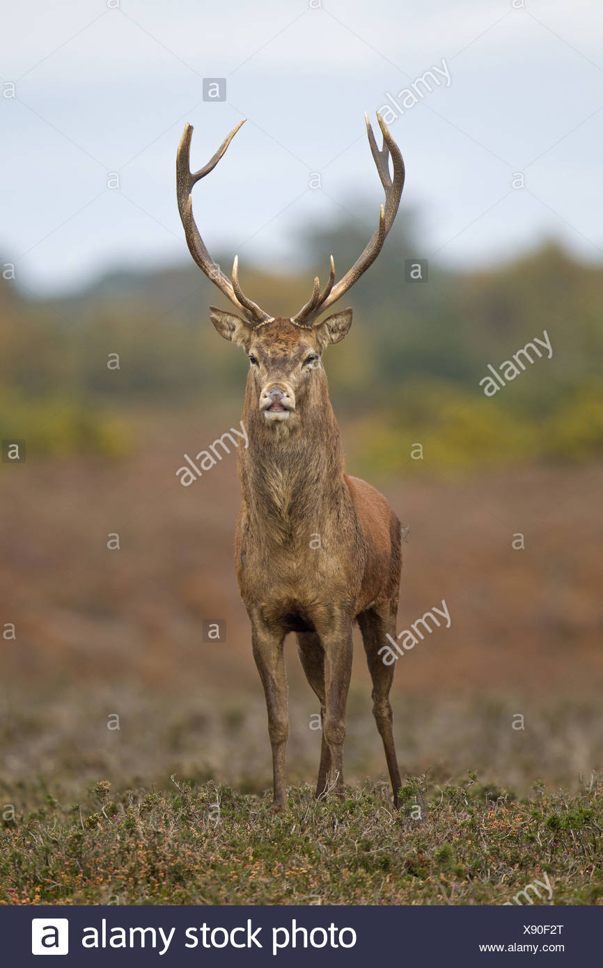 Red Deer Rut Minsmere High Resolution Stock Photography And for Deer Rut Westleton 2021