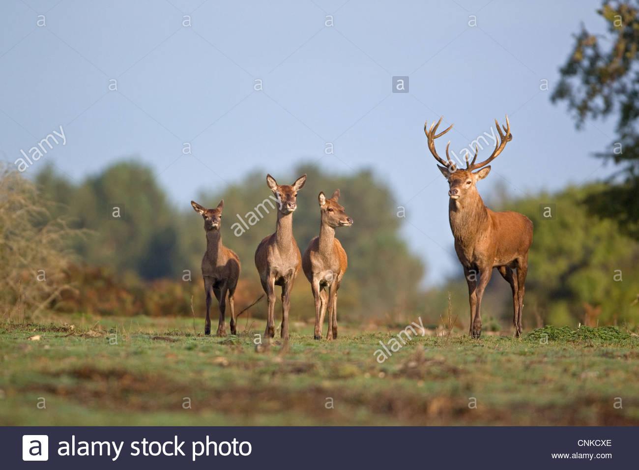 Red Deer Rut Minsmere High Resolution Stock Photography And inside Deer Rut Westleton 2021