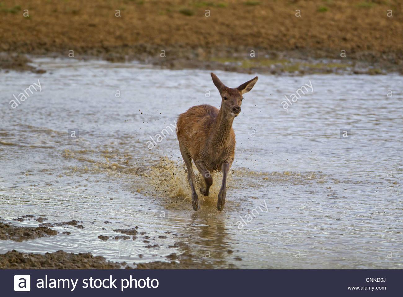 Red Deer Rut Minsmere High Resolution Stock Photography And regarding Deer Rut Westleton 2021
