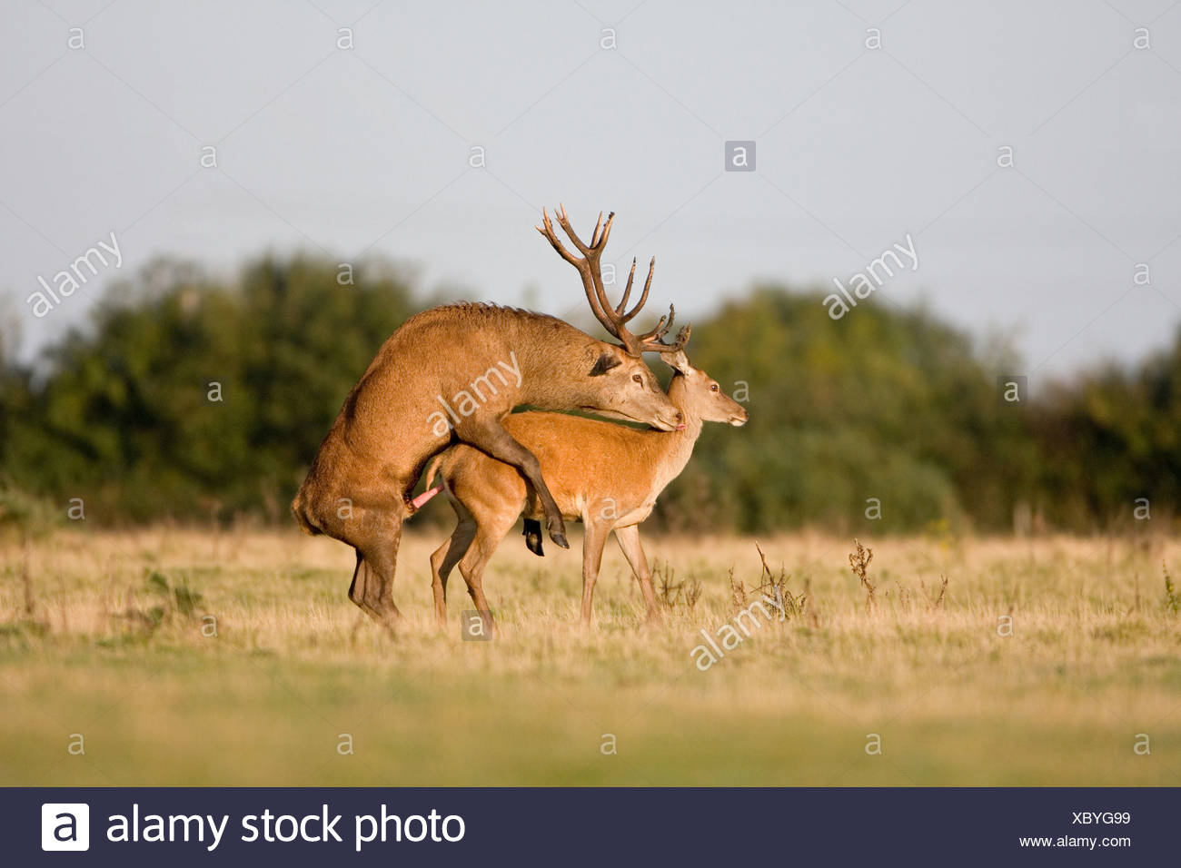 Red Deer Rut Minsmere High Resolution Stock Photography And throughout Deer Rut Westleton 2021