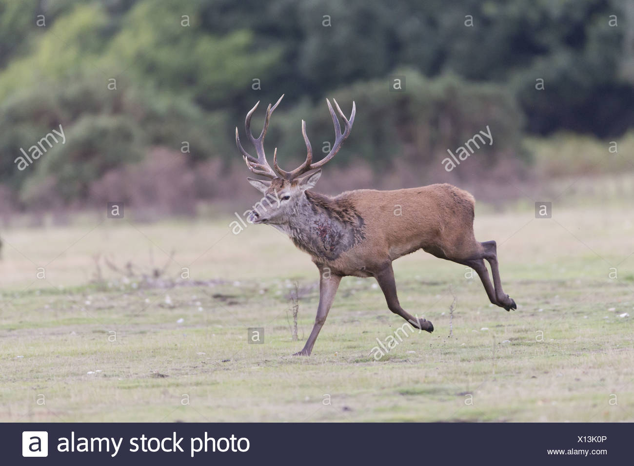 Red Deer Rut Minsmere High Resolution Stock Photography And with Deer Rut Westleton 2021