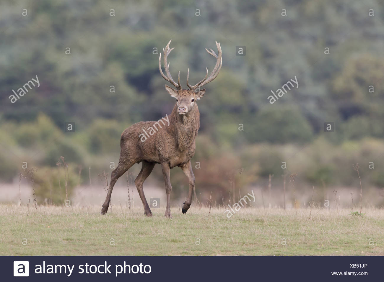 Red Deer Rut Minsmere High Resolution Stock Photography And within Deer Rut Westleton 2021