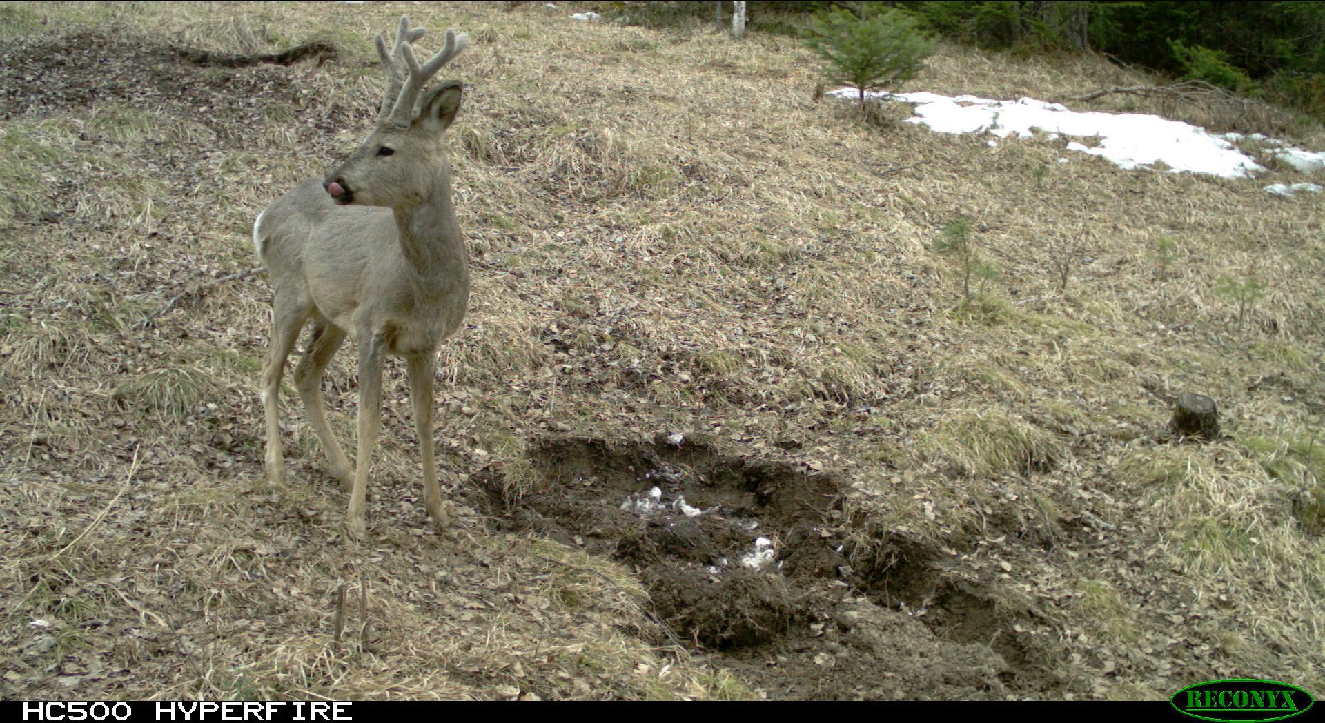 Siberian Roe Deer During The Rut In 2021 with 2021 Deer Rut Calendar