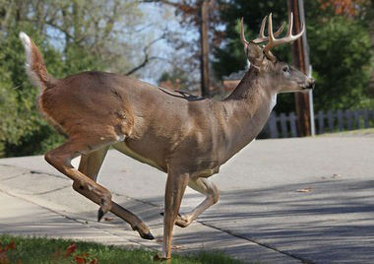 Southwest Michigan Deer Rut Activity Peaks, Whitetails intended for Michigan Deer Rut Calender