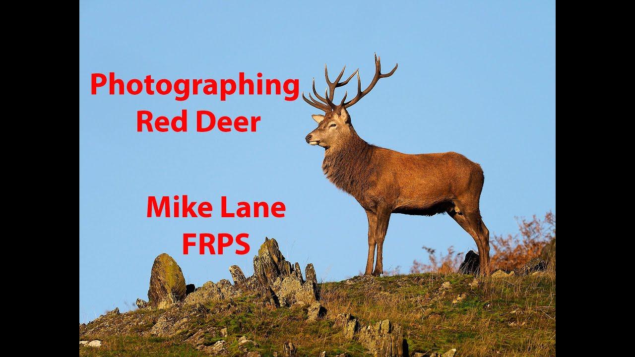 The Red Deer Rut In Bradgate Park, Leicestershire throughout Bradgate Deer Rut 2021