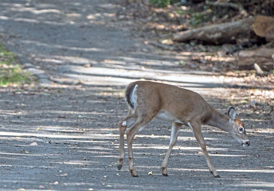 The Rut Is On! Beware Of Deer On The Roads   Pittsburgh Post within Pa Deer Rut