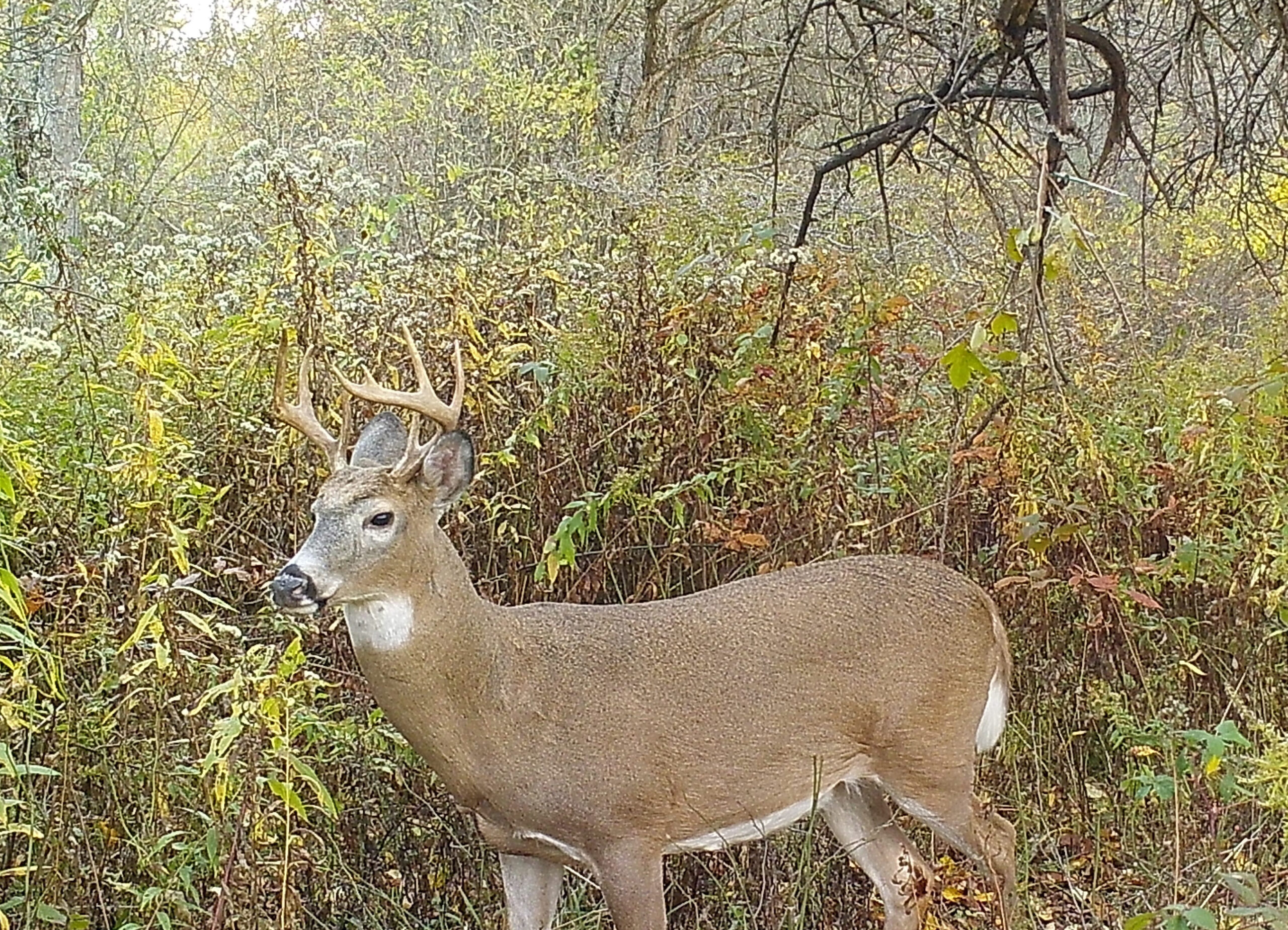 The Whitetail Rut: Right On Time Again with Deer Rut Schedule