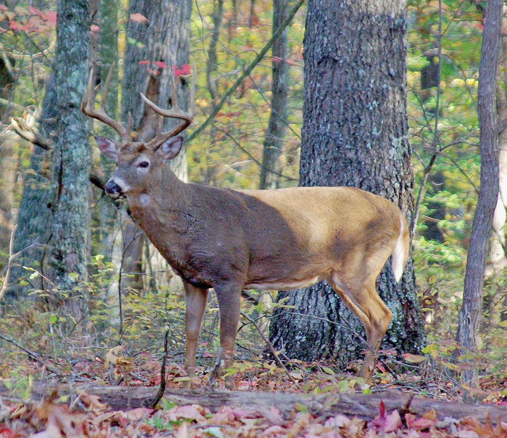 Understanding Rutting Behavior In Arkansas Whitetails for Buck Rut Prediction
