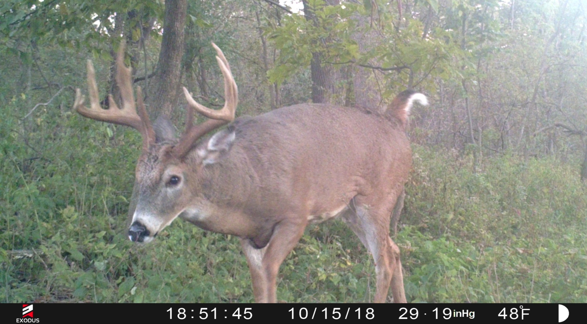 When Will The Whitetail Rut Begin | Whitetail Habitat Solutions inside 2021 Wisconsin Rut Predictions
