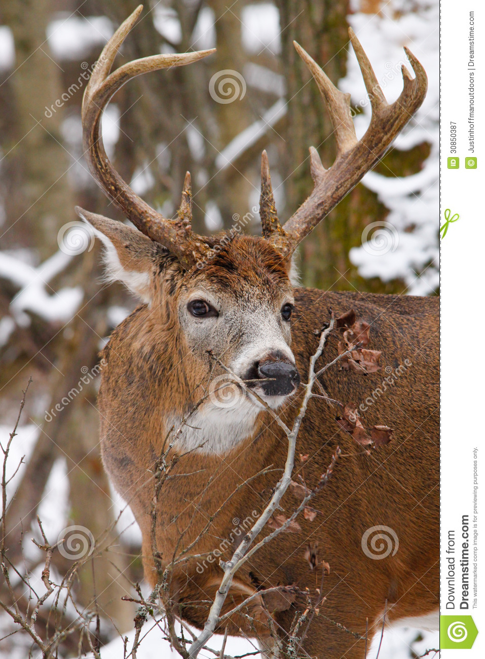 Whitetail Deer Buck During Fall Rut In Snow Stock Image for White Tail Rut Ontario