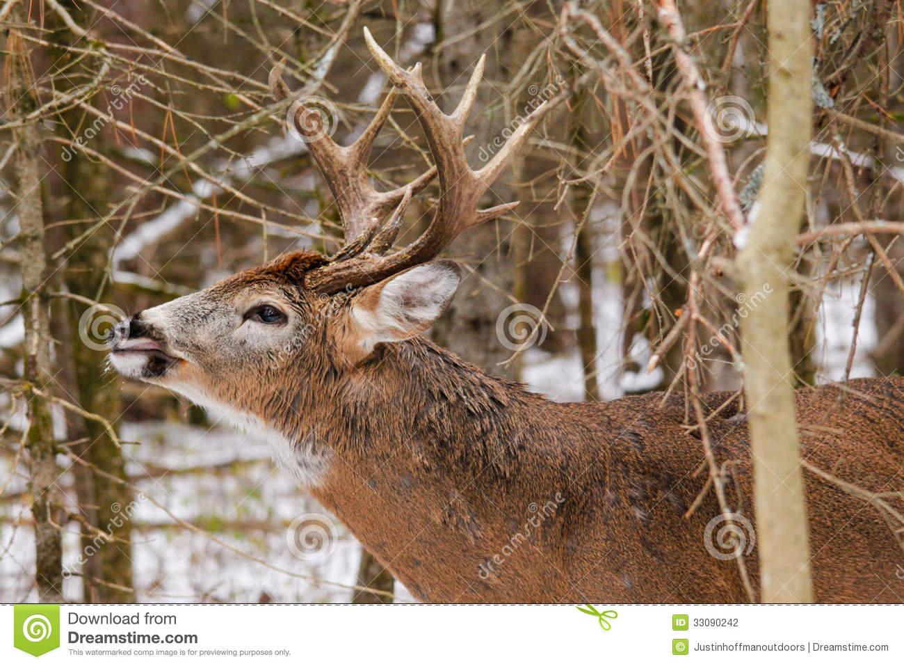 Whitetail Deer Buck Fall Rut Lip Curl Stock Photo - Image Of with White Tail Rut Ontario