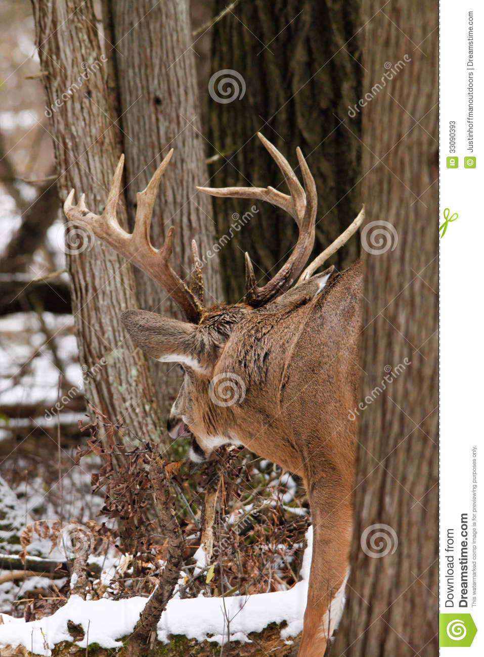 Whitetail Deer Buck Fall Rut Stock Image - Image Of Canada within White Tail Rut Ontario