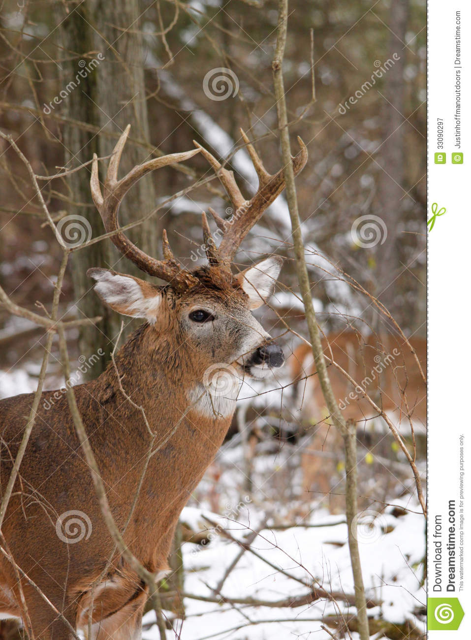 Whitetail Deer Buck Fall Rut Stock Image - Image Of Forest throughout White Tail Rut Ontario
