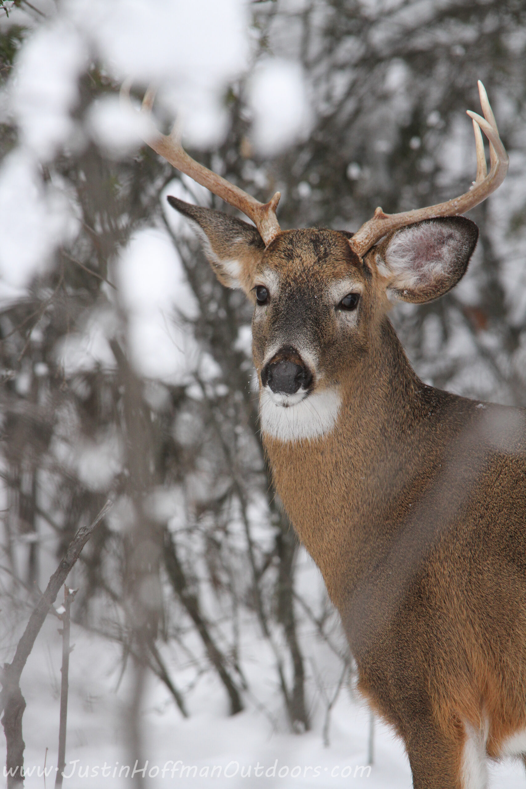 Whitetail Deer | Justin Hoffman Outdoors intended for White Tail Rut Ontario