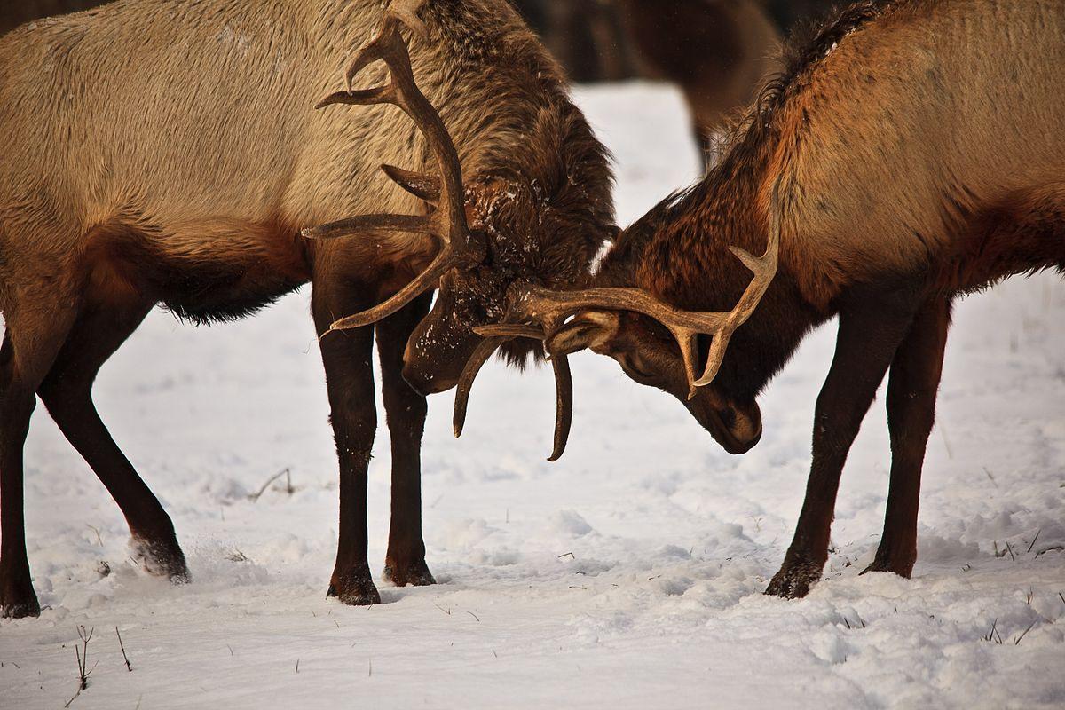 File:bull-Elk-Rut-Fighting-Antlers - West Virginia regarding Rut In Virginia