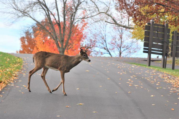 Motorists Should Beware Of Deer During Rut Season | News intended for Wv 2021 Rut
