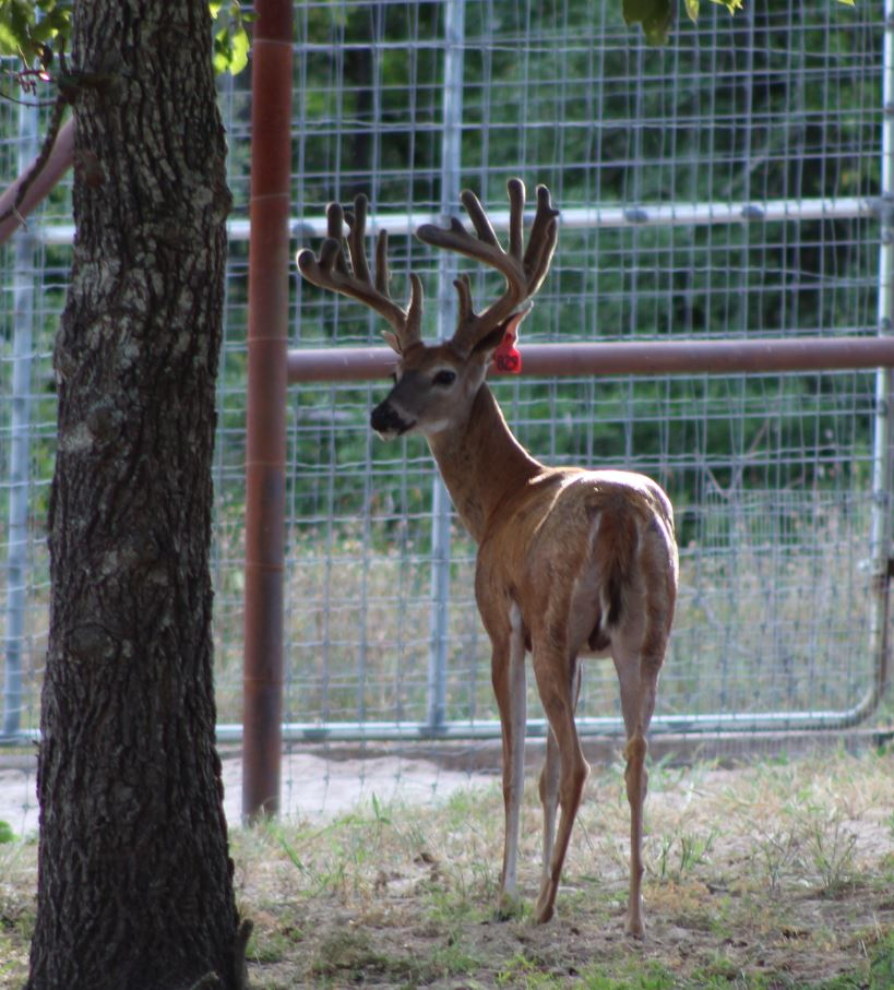 Red 829-2 - Whitetail Hunting & Exotic Hunting In Texas within Michigan Deer Rut 2021
